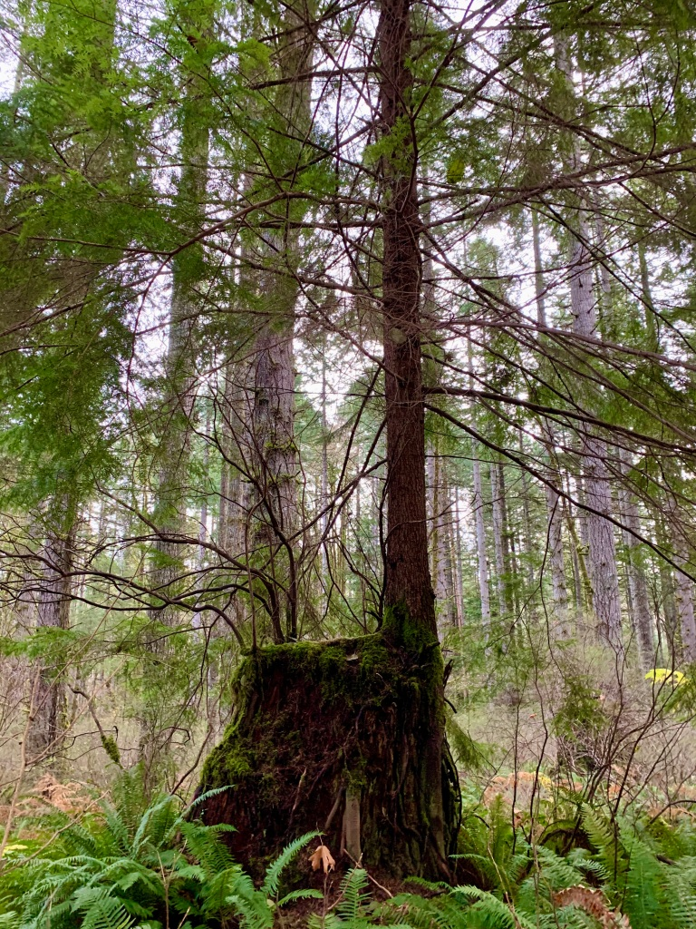 November 14th - Campbell River, Vancouver Island, British Columbia - Two trees growing on a tree stump!