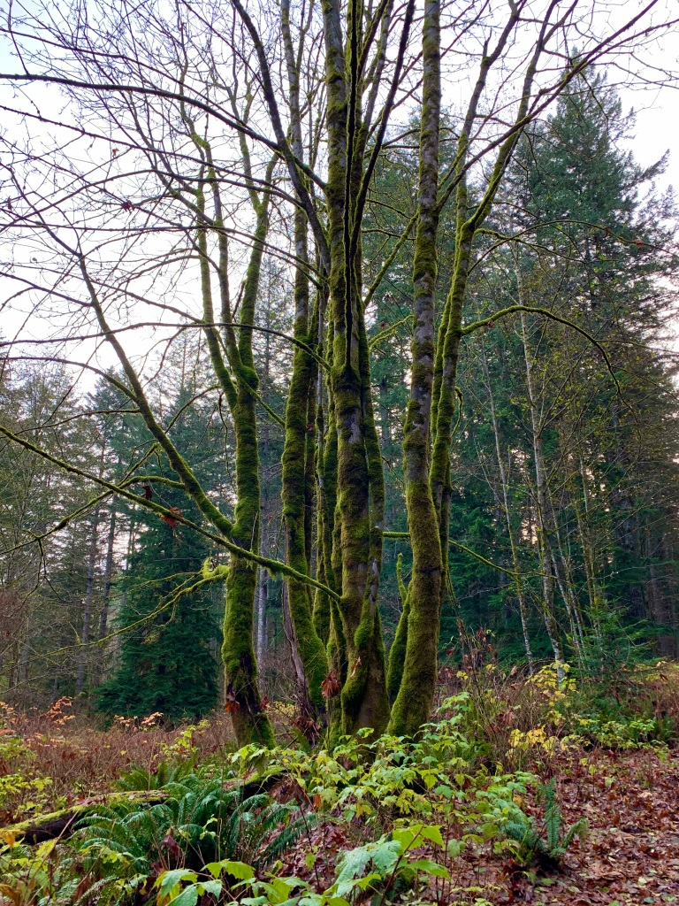 November 14th - Campbell River, Vancouver Island, British Columbia - My special tree!!!