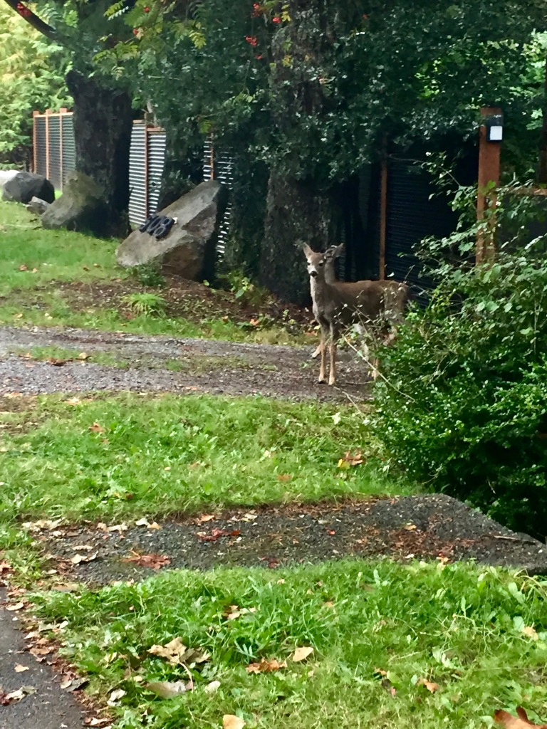 Campbell River, Vancouver Island, British Columbia - Erickson Rd - The gate is closed to the yard, so the little deer cannot enter. She watches me approach.