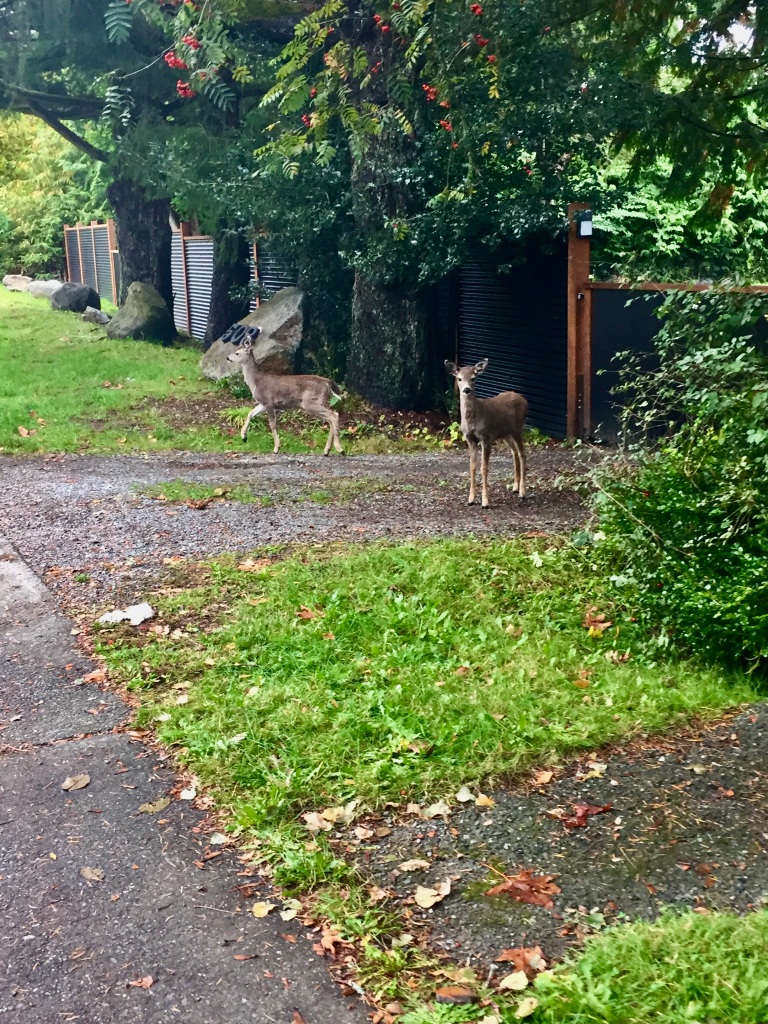 Campbell River, Vancouver Island, British Columbia - Erickson Rd - The gate is closed to the yard, so the little deer cannot enter. She watches me approach as the other deer walks back across the road.