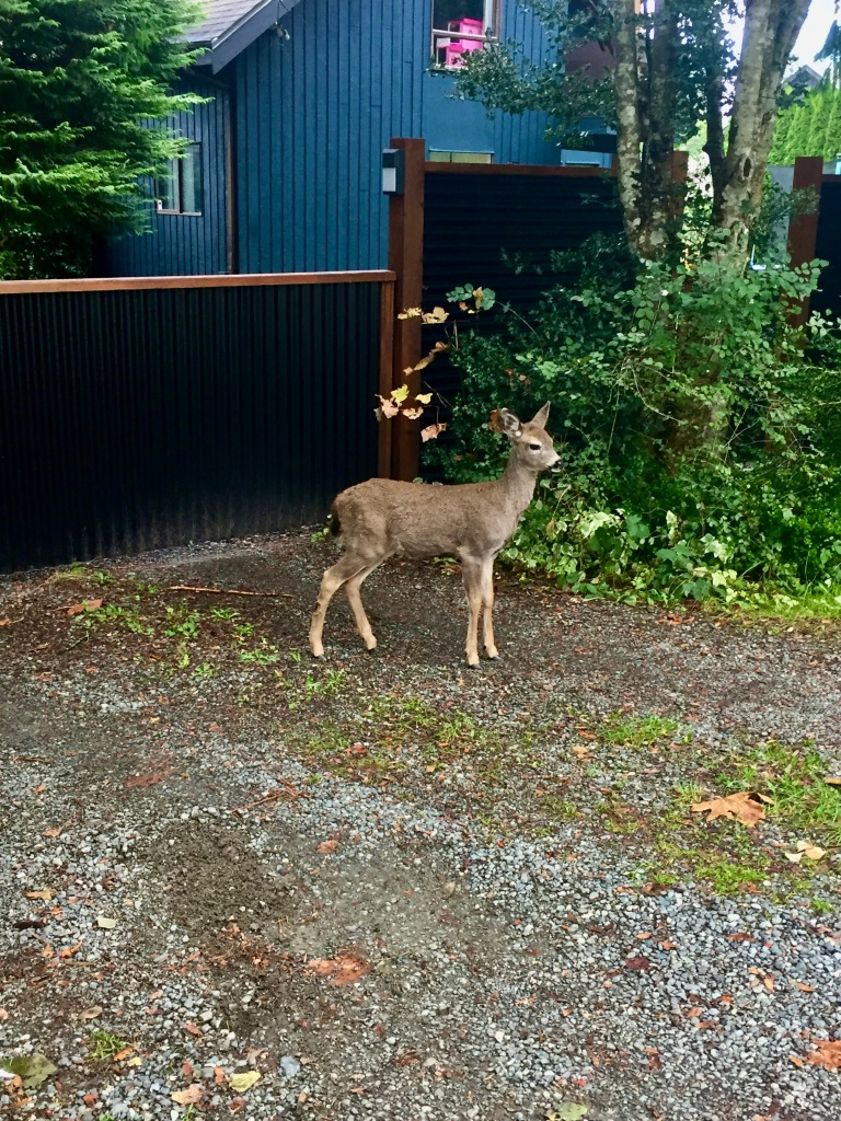 Campbell River, Vancouver Island, British Columbia - Erickson Rd - The gate is closed to the yard, so the little deer cannot enter. She watches me as I walk past her...