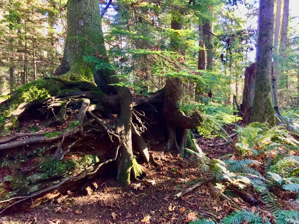 Oyster River, Vancouver Island, British Columbia - Tree roots