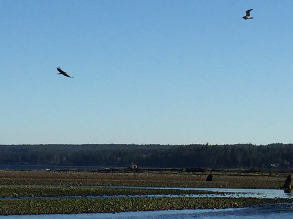 Oyster River, Vancouver Island, British Columbia - At the mouth of the river - the lone bald eagle flies away...
