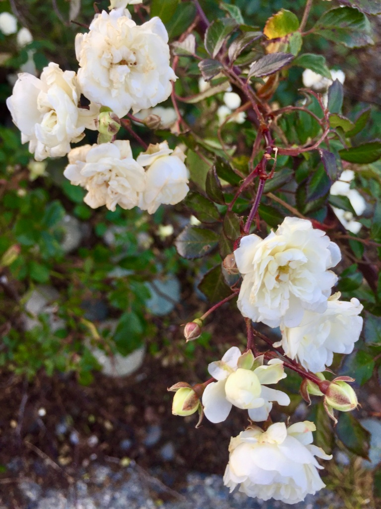 Campbell River, Vancouver Island, British Columbia - October roses!
