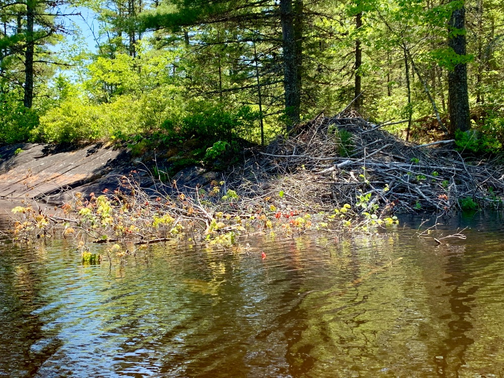 June 13th, 2021 - Long Lake, East Uniacke, Nova Scotia - Beaver's lodge