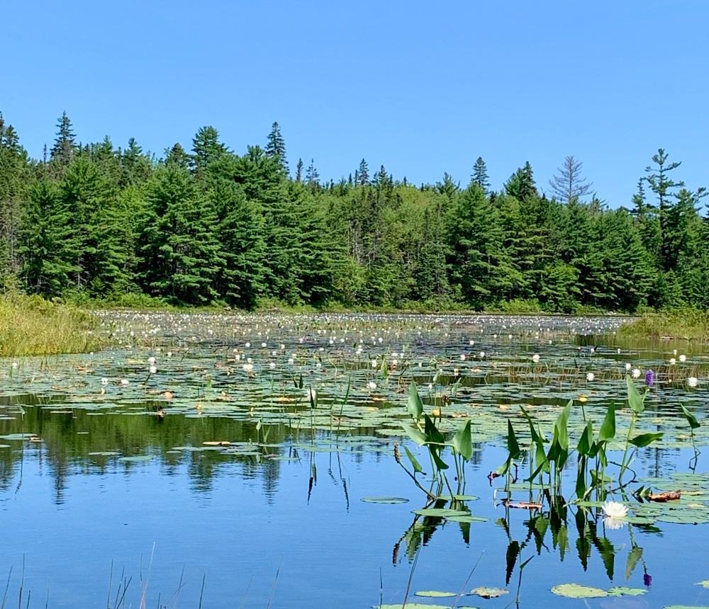August 16th, 2021 - Long Lake, East Uniacke, Nova Scotia - Hundreds of water lilies!