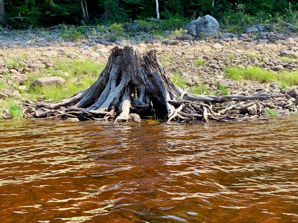 August 26th, 2021 - Panuke Lake - Interesting tree roots