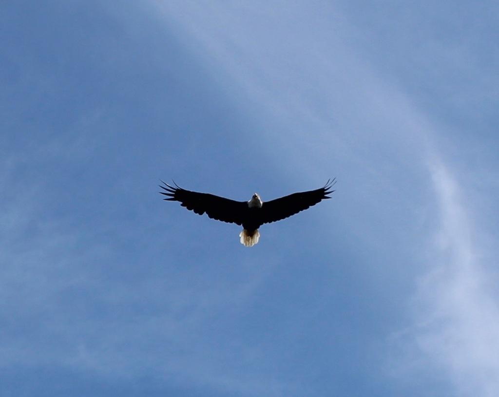 July 11st, 2021 - Bedford, Nova Scotia - Bald eagle. Photo taken by mama, Shirley!