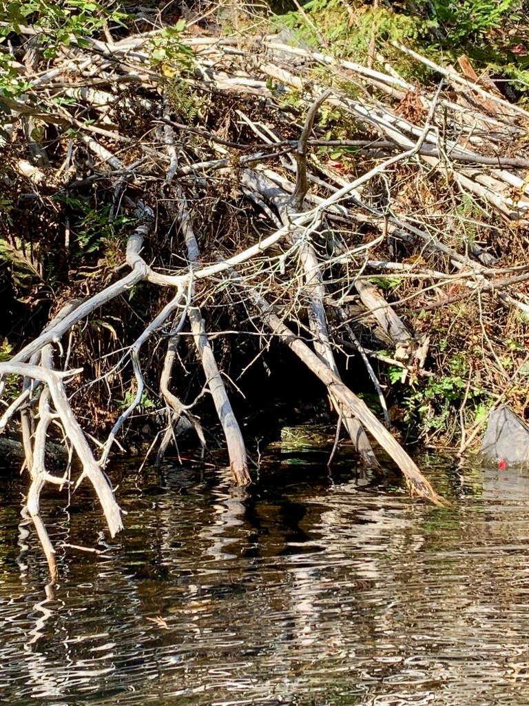 October 9th - Lake William, Waverley, Nova Scotia - Early Morning Autumn Paddle - Entrance to the beaver lodge